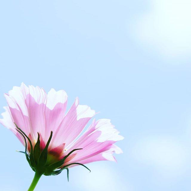 【みつばちとコスモス】10/12(土)~14(月)にリフレッシュパーク豊浦で開催される『コスモス祭り』に廣田養蜂場のみつばちがコスモスの花粉を集めに行っているかもしれませんもし、見かけたときは優しく見守ってくださいね#コスモス #コスモス畑 #コスモス祭り #コスモス園 #下関市 #下関観光 #豊浦町 #リフレッシュ #リフレッシュパーク豊浦 #山口県 #日本 #日本の風景 #日本語 #日本人 #日本旅行 #日本 #japanculture #japanphoto #japantour #japanesestyle #japanlover #japantravel #japan_photo_now #yamaguchi #shimonoseki #hirotabeefarm #廣田養蜂場 #廣田養蜂場生はちみつ #廣田養蜂場の